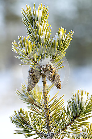 Pine in frost with two cones