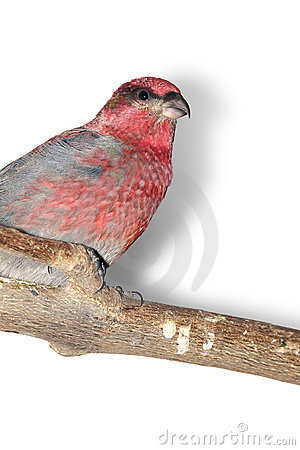 Pine-grosbeak