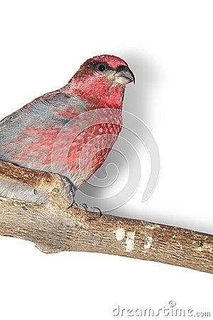 Pine-grosbeak