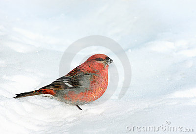 Pine Grosbeak in the snow