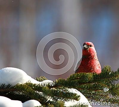 Pine Grosbeak in winter