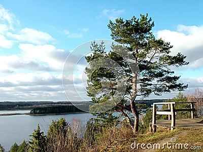 Pine landscape