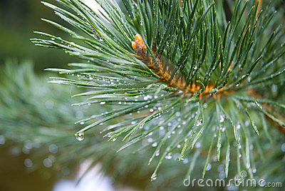 Pine needles after rain