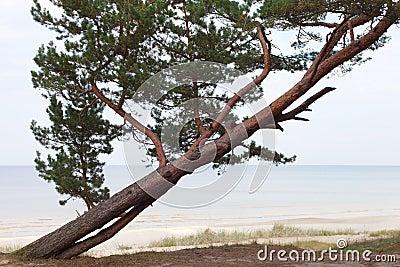 Pine at sea.