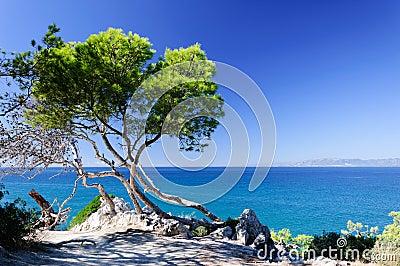 Pine at the seashore
