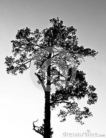 Pine siluette
