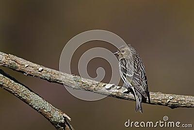 Pine Siskin (Carduelis pinus pinus)