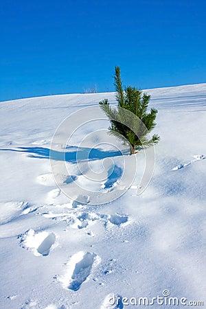 Pine on snow