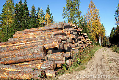 Pine Timber Logs by Rural Road in Autumn