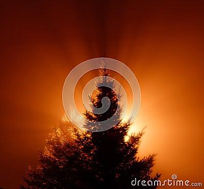 Free Pine Tree Royalty Free Stock Photo - 4085