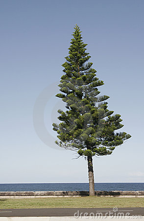 Free Pine Tree Royalty Free Stock Photos - 1959788