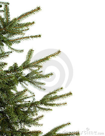 Free Pine-tree Royalty Free Stock Images - 3997989