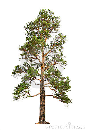 Free Pine Tree Royalty Free Stock Images - 7640979