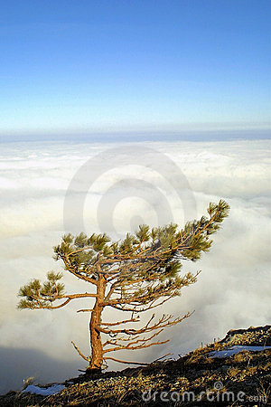 Pine tree above the clouds