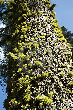 Free Pine Tree And Moss Royalty Free Stock Photos - 6479868