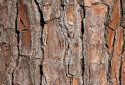 Pine Tree Bark for Background