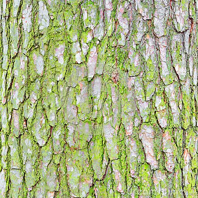 Free Pine Tree Bark Texture. Royalty Free Stock Images - 103431119