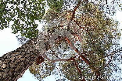 Pine tree from beneath Stock Photo