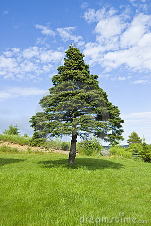 Pine Tree and Blue Sky