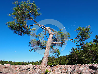Pine Tree in Boulder Field