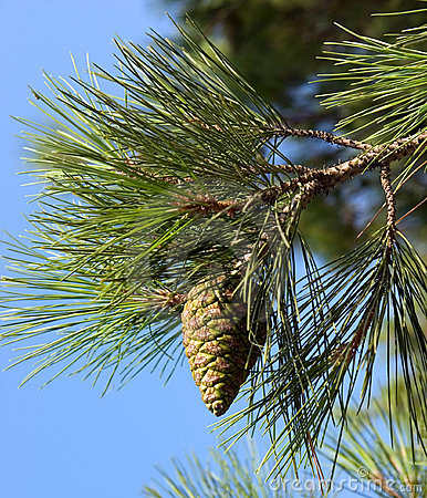 Free Pine-tree Branch Stock Images - 256924
