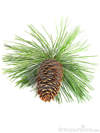 Free Pine Tree Branch And Cone Royalty Free Stock Images - 3232619
