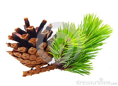 Pine tree branch with cone