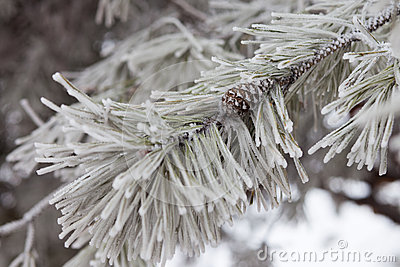 Pine-tree branch in snow