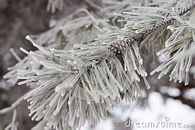 Pine-tree branch in snow