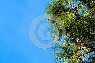 Pine Tree Branches on a Sky Background