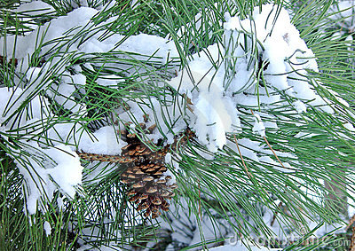 Pine tree with cone covered in snow