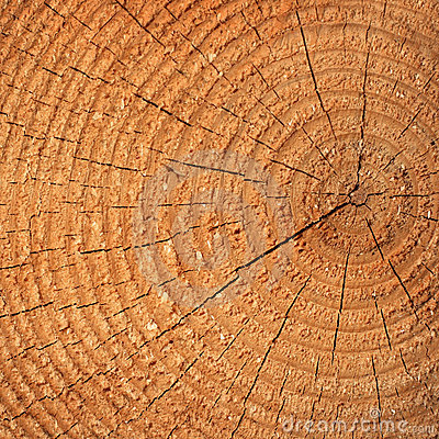 Pine tree cut