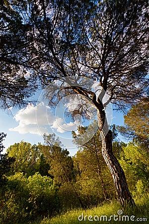 Pine Tree at Douro River