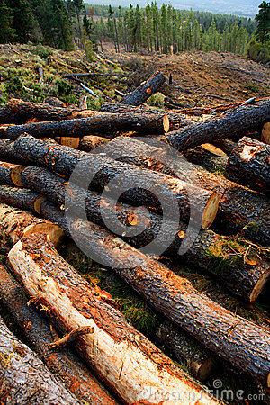 Free Pine Tree Felled For Timber Industry In Tenerife Royalty Free Stock Photos - 26645328