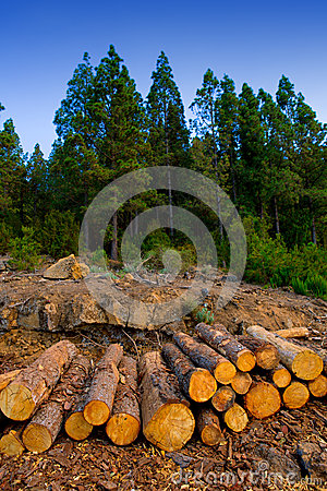 Free Pine Tree Felled For Timber Industry In Tenerife Royalty Free Stock Photos - 26645418