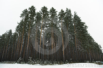Pine Tree Forest Royalty Free Stock Photography - Image: 7207807