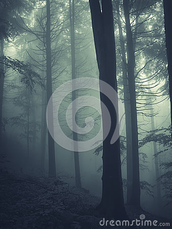 Pine tree forest with dark fog Stock Photo