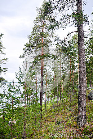 Pine tree forest in Karelia, Finland