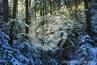 Pine tree forest during winter