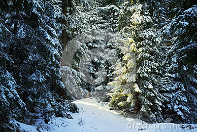 Pine Tree Forest During Winter Stock Photos - Image: 28780123