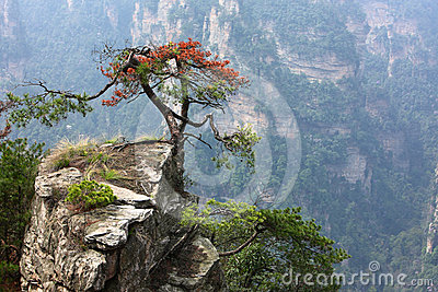 Pine tree grows on cliff