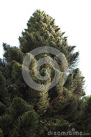Pine Tree on Isolated White Background