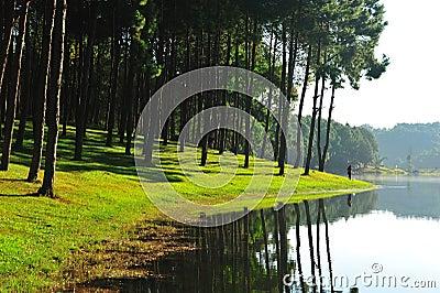 Pine tree on lake