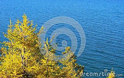 Pine tree. Lake Baikal.