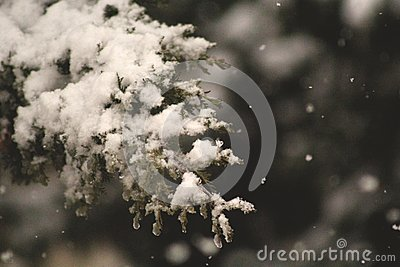 Pine Tree Leaf Cover In Snow Free Public Domain Cc0 Image
