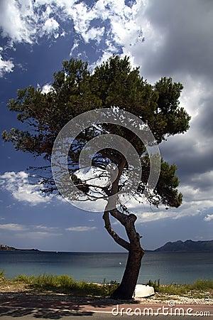 Pine tree on Majorca