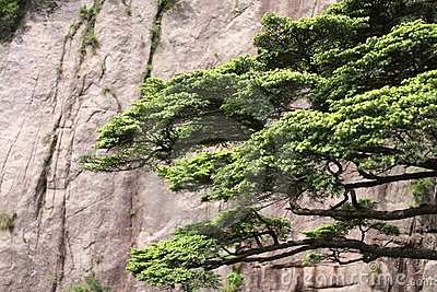 Pine tree on Mount Huangshan
