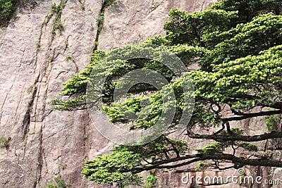 Pine tree on Mount Huangshan