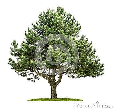 Free Pine Tree On A White Background Royalty Free Stock Photos - 54002018