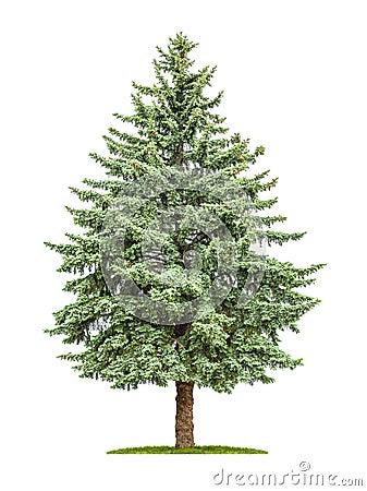 Free Pine Tree On A White Background Royalty Free Stock Photos - 54595598